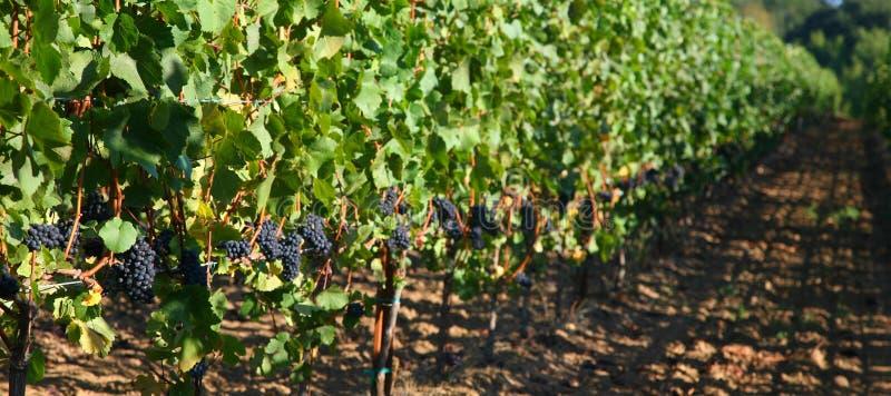 Uvas de Pinot Noir fotografia de stock