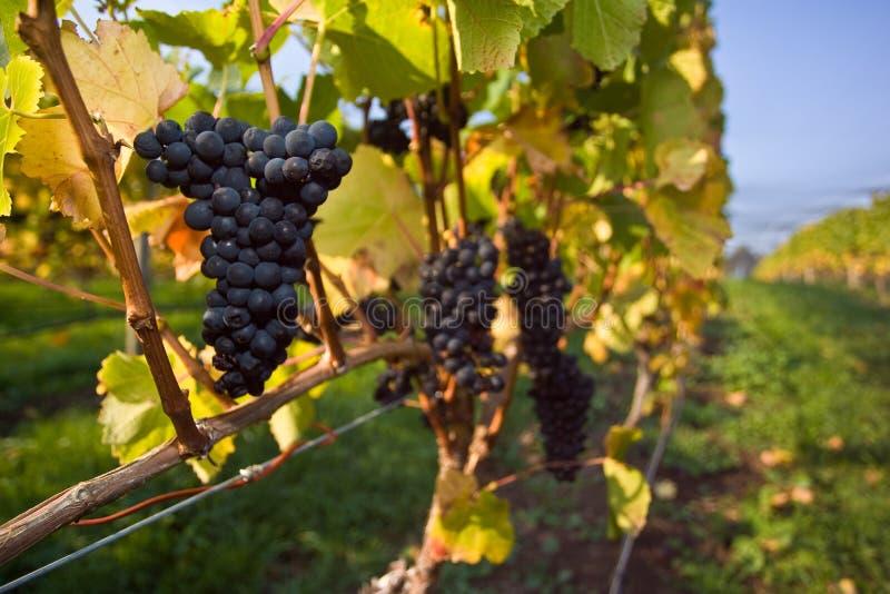Uvas de Pinot Noir imagem de stock