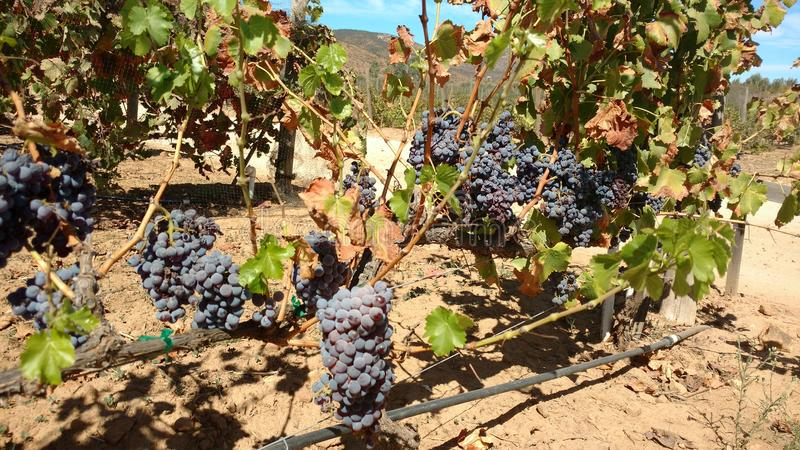 Uvas de raisins image libre de droits