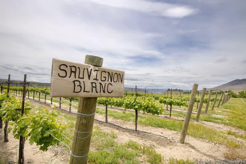 Uvas de Sauvignon Blanc que crecen en viñedo imagenes de archivo