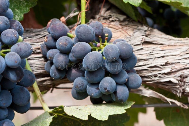 Uvas de Shiraz fotos de stock