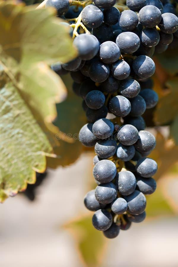 Uvas de Shiraz imagem de stock