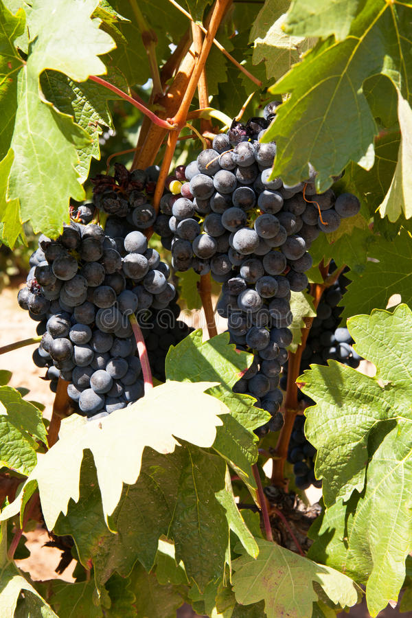 Uvas de Tempranillo, región de Rioja, España fotos de archivo libres de regalías
