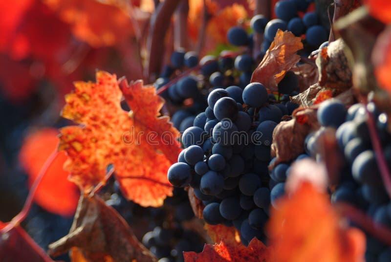 Uvas de vino fotografía de archivo libre de regalías