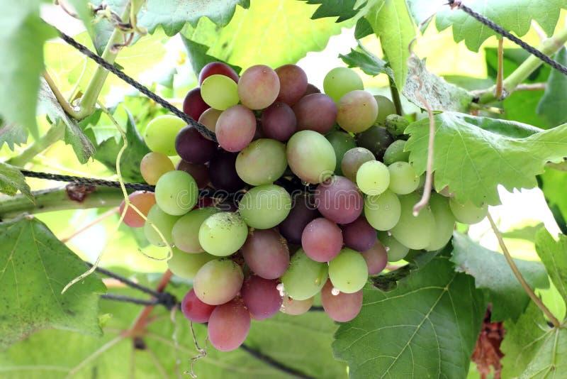 Uvas de vino fotos de archivo