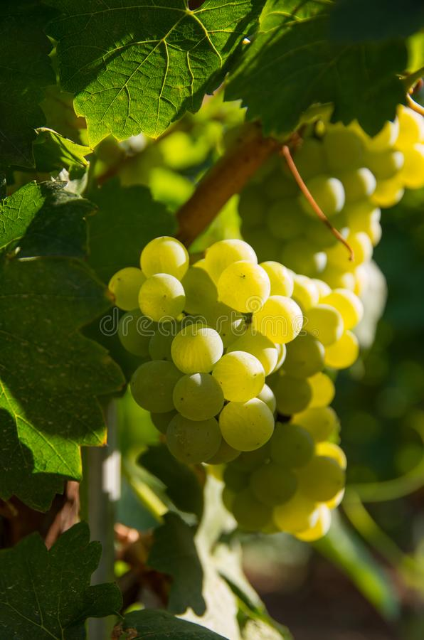 Uvas de vino de Chardonnay fotos de archivo libres de regalías