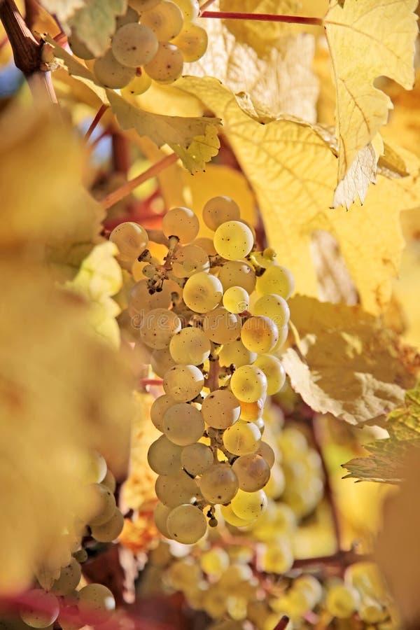Uvas de vino de Riesling fotografía de archivo
