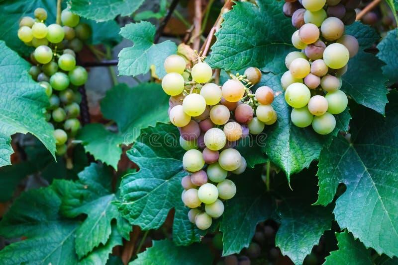 Uvas de vino dulce foto de archivo