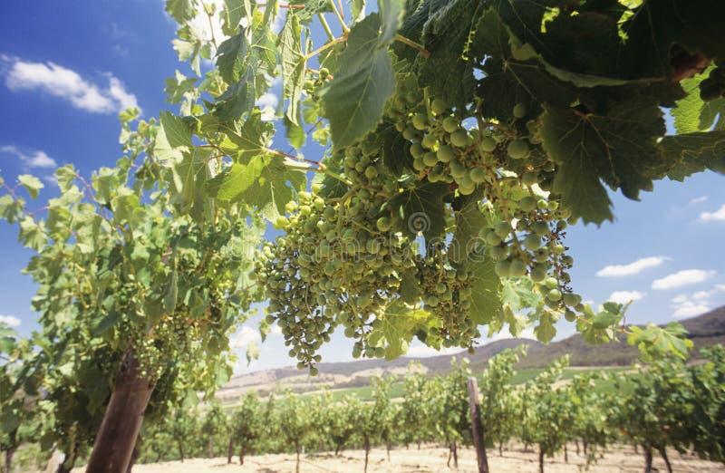Uvas de vino en la central Victoria Australia de las vides imagen de archivo