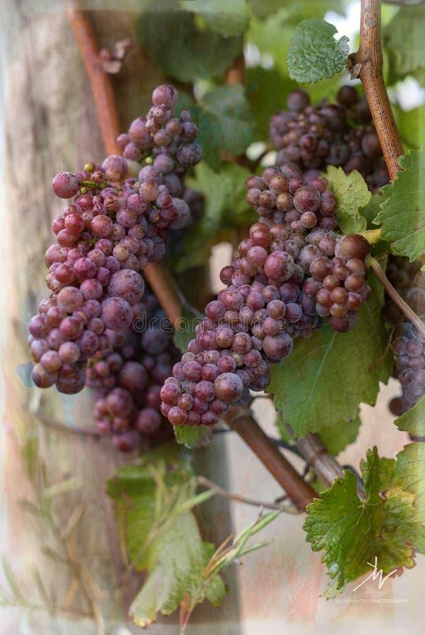 Uvas de vino en la vid imagenes de archivo