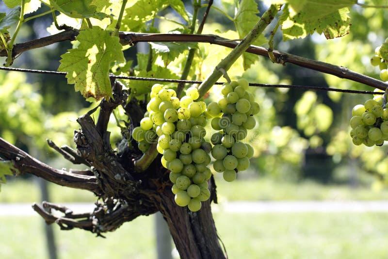 Uvas de vino en viñedo imagen de archivo libre de regalías