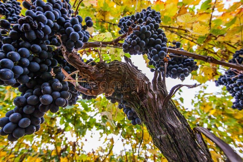 Uvas de vino II foto de archivo libre de regalías