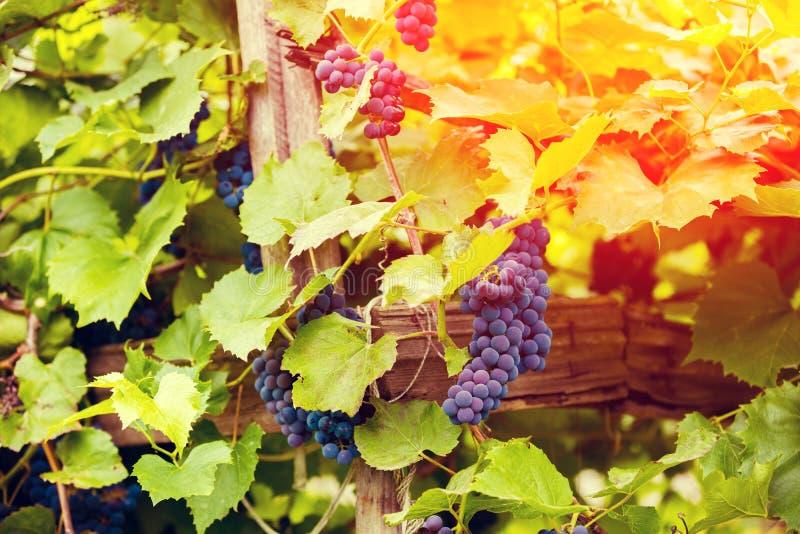 Uvas de vino maduras imagenes de archivo