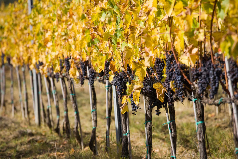 Uvas de vino maduras imágenes de archivo libres de regalías