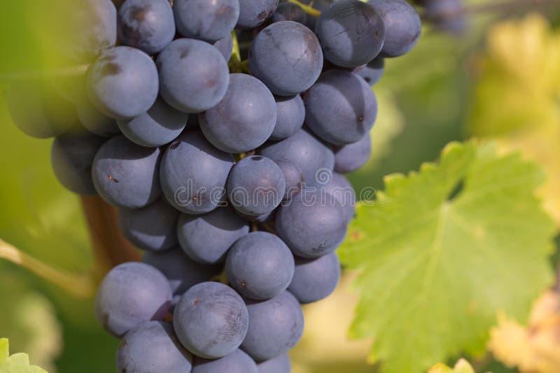 Uvas de vino maduras en la vid foto de archivo libre de regalías