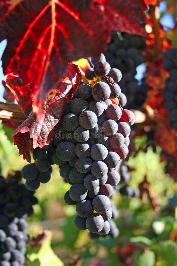 Uvas de vino maduras en otoño imagen de archivo libre de regalías