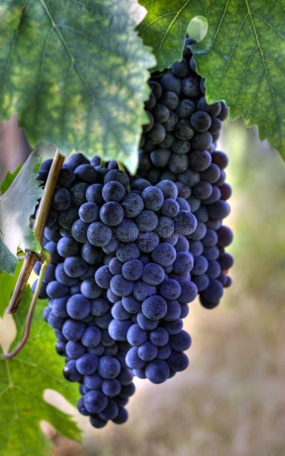 Uvas de vino púrpuras fotografía de archivo libre de regalías