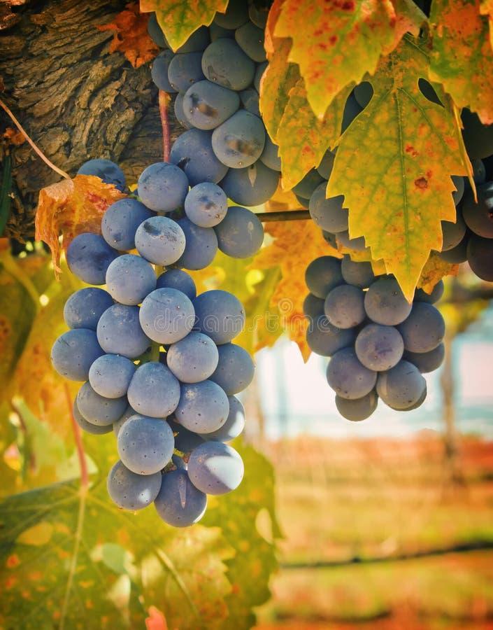 Uvas de vino púrpuras, California foto de archivo libre de regalías