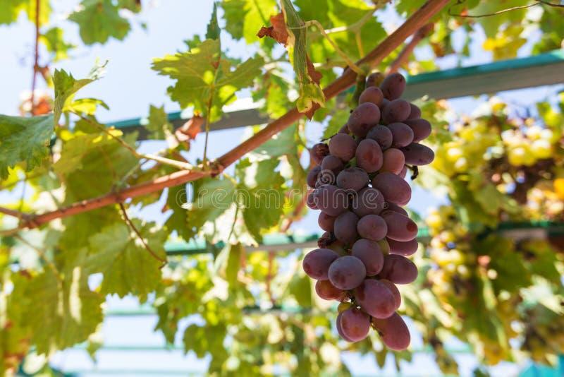 Uvas de vino rojo imagen de archivo