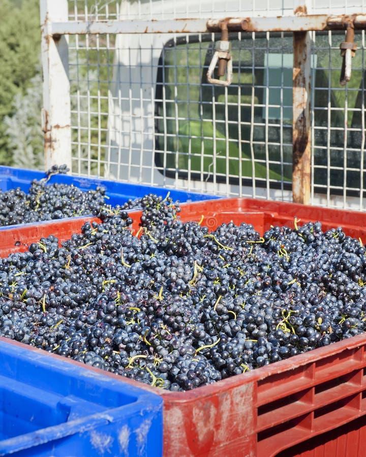 Uvas de vino rojo en el carro fotografía de archivo libre de regalías