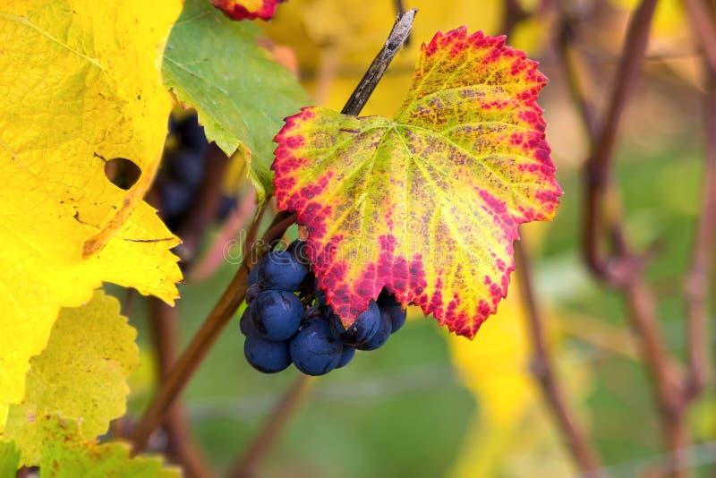 Uvas de vino rojo en el primer de la vid foto de archivo libre de regalías