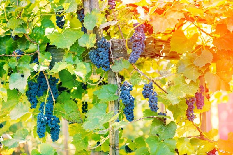 Uvas de vino rojo en la vid imagenes de archivo