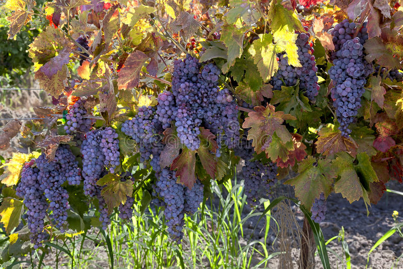 Uvas de vino rojo en la vid fotos de archivo