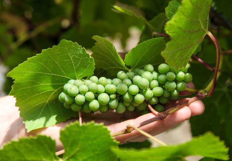 Uvas de vino - Tamar Valley Tasmania fotografía de archivo