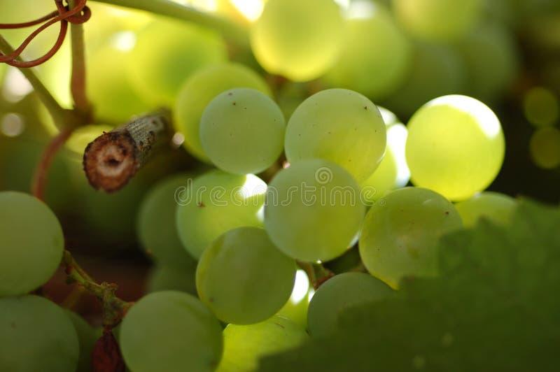 Uvas de vino verdes foto de archivo