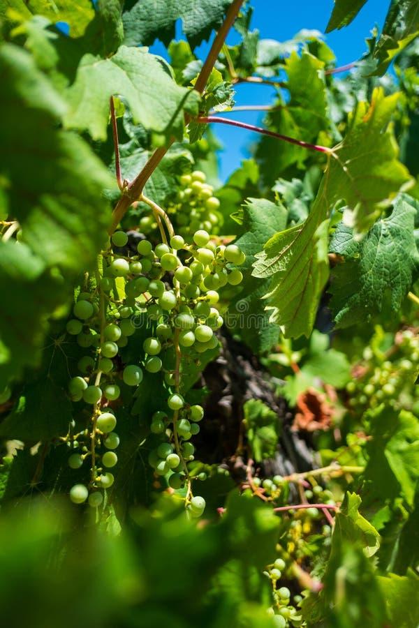 Uvas del Malbec en viñedo en Mendoza, la Argentina fotos de archivo