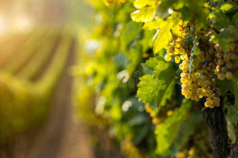 Uvas del vino blanco en el viñedo foto de archivo libre de regalías