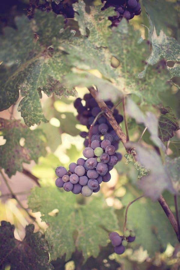 Uvas do vinhedo foto de stock