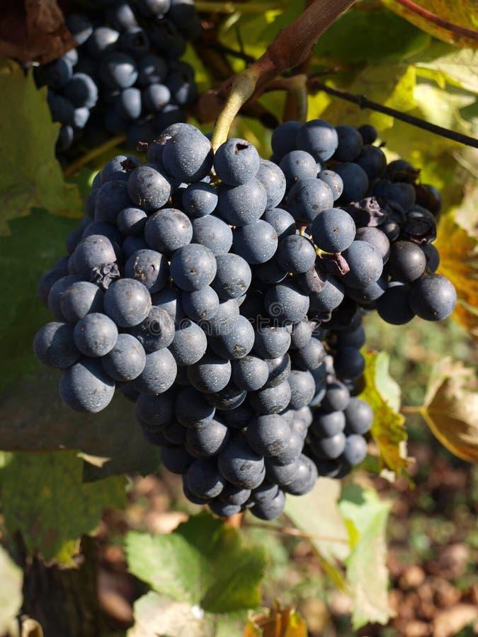 Uvas do vinho tinto na videira foto de stock