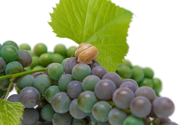 Download Uvas e close up do caracol imagem de stock. Imagem de agricultura - 26511309
