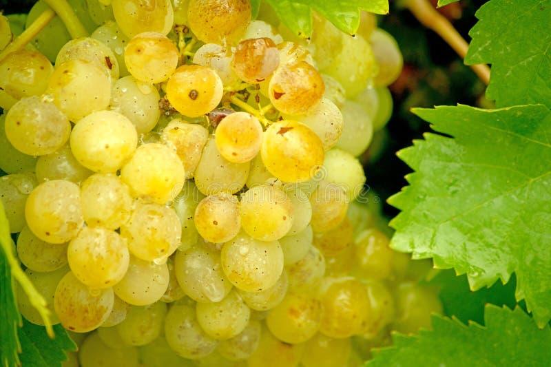Uvas e folhas douradas brilhantes da uva com água droplets1 fotografia de stock
