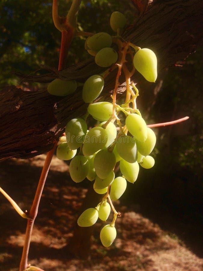 Uvas em nosso jardim fotografia de stock