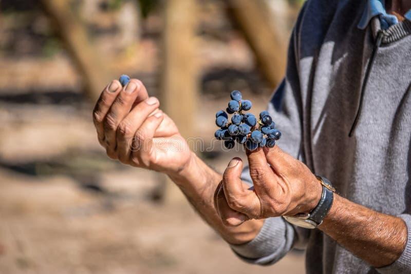 Uvas em um vinhedo chileno - Santiago, o Chile imagem de stock royalty free