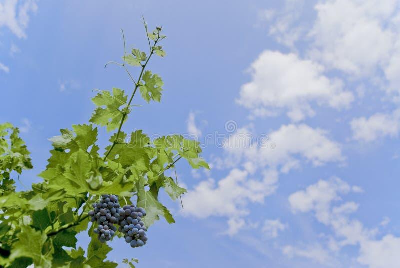 Uvas en el cielo fotografía de archivo libre de regalías