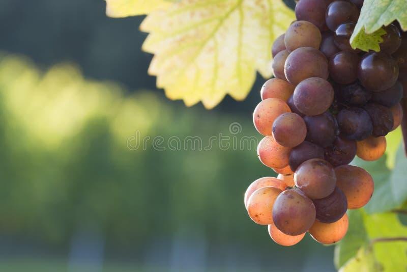 Uvas en el sol de la tarde imagen de archivo