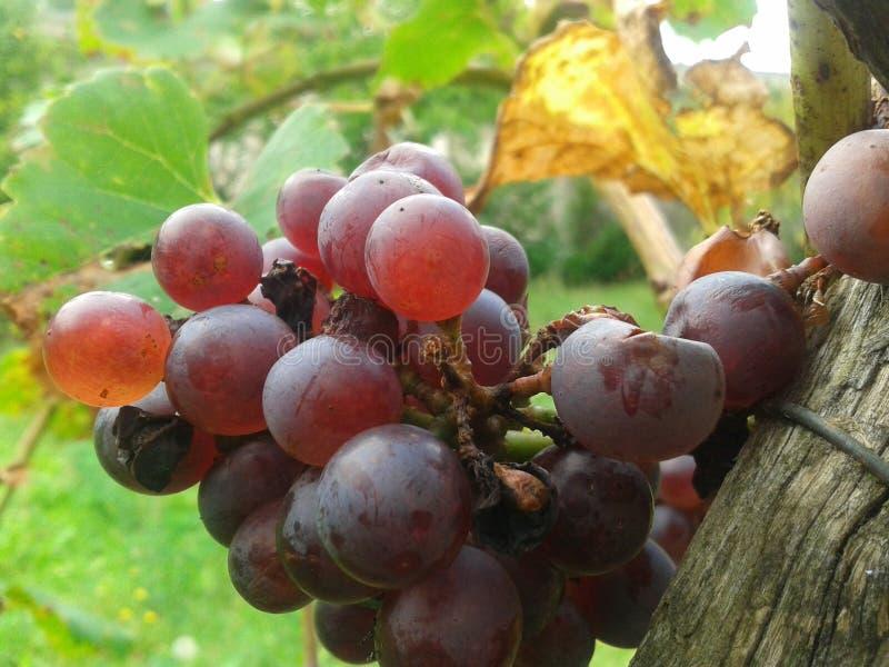 Uvas en finales del verano fotos de archivo libres de regalías