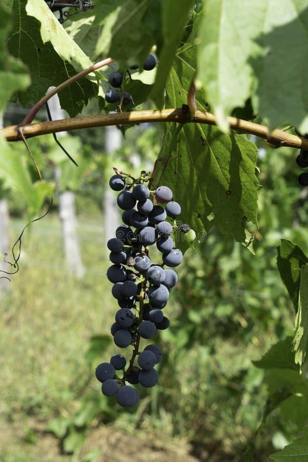 Uvas en la vid que espera para ser cosechado fotografía de archivo