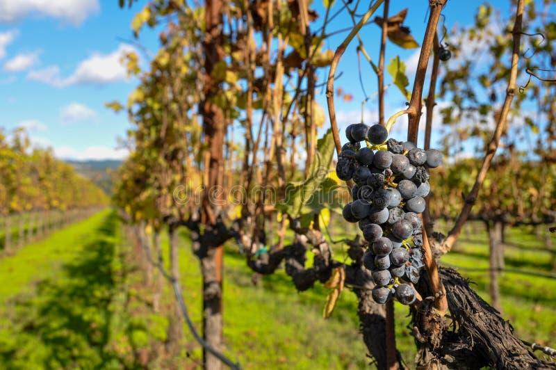 Uvas en un viñedo, Napa Valley, California, los E.E.U.U. fotografía de archivo libre de regalías