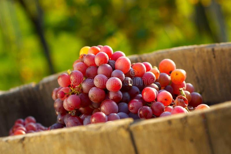 Uvas en viñedo foto de archivo libre de regalías