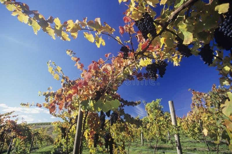 Uvas en vides en el valle Victoria Australia de Yarra del viñedo imagenes de archivo