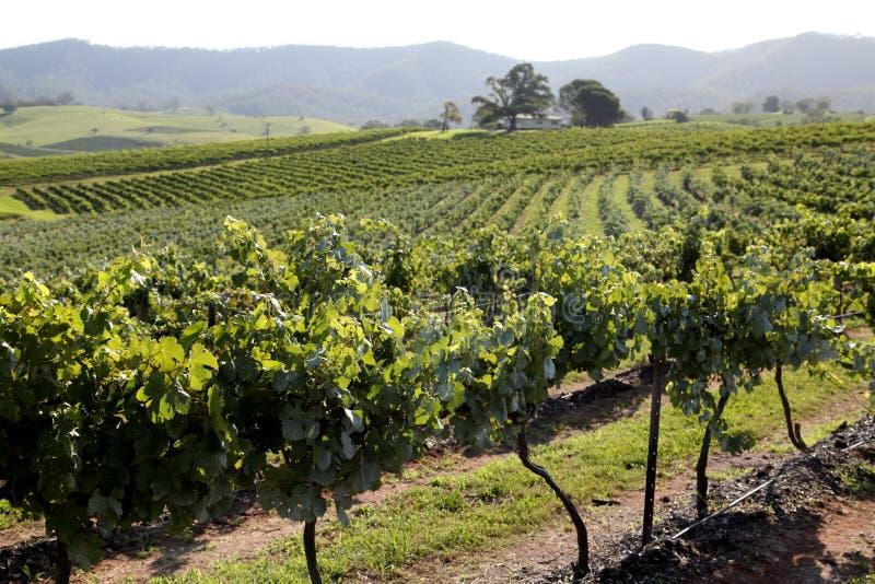 Uvas en yarda del vino foto de archivo libre de regalías