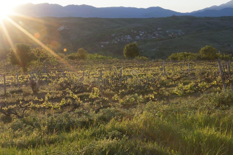 Uvas en yarda del vino fotografía de archivo