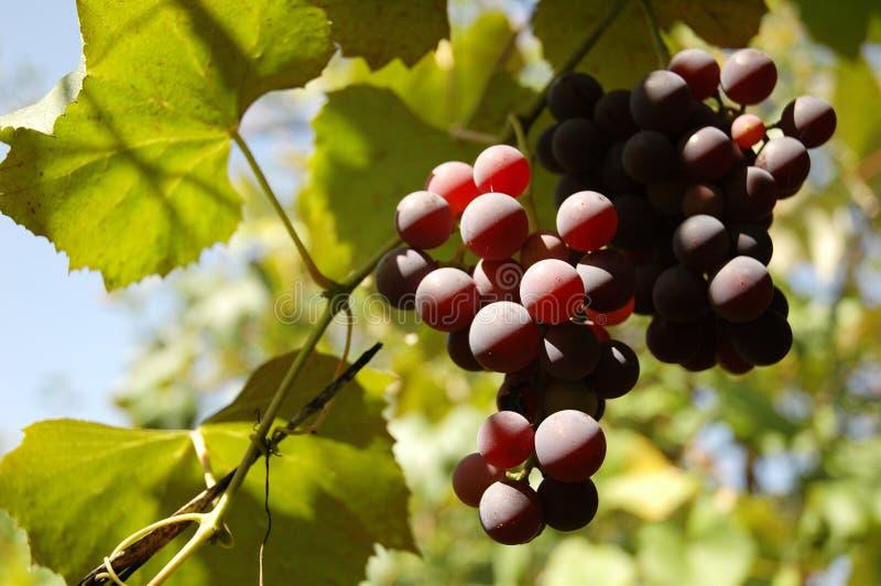 Uvas frescas imagem de stock royalty free