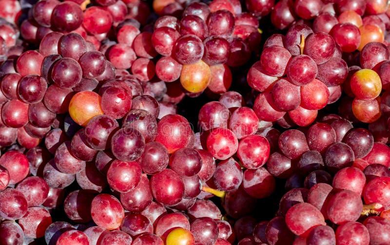 Uvas maduras da variedade vermelha imagem de stock