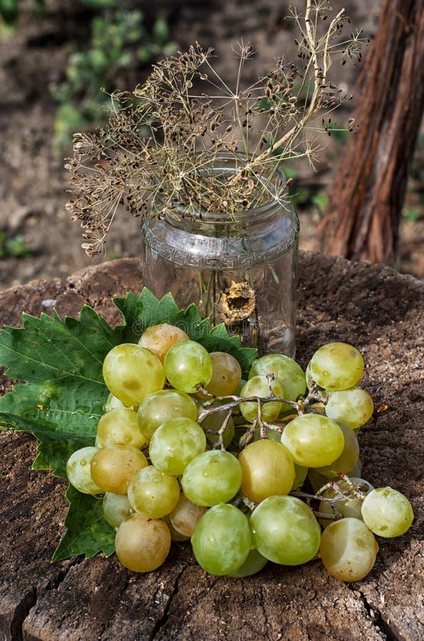 Uvas maduras da videira foto de stock