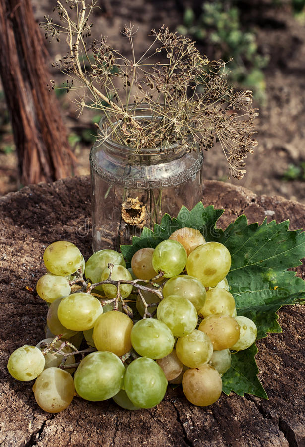 Uvas maduras de la vid imagen de archivo